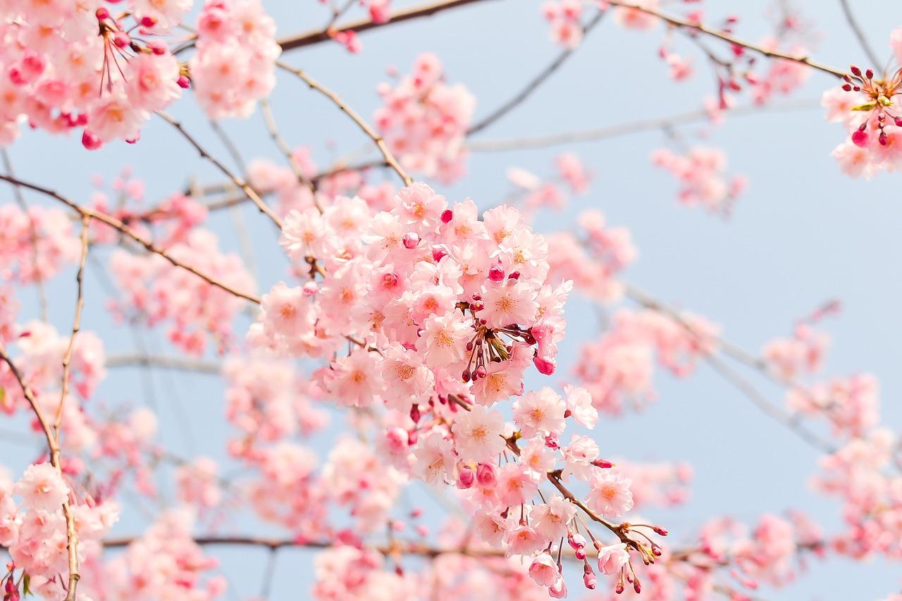 保育園の入園式の桜